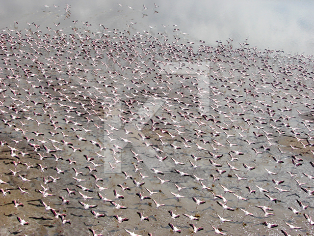 Helicopter Ride over Flamingos in Kenya