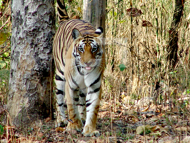 Tiger in the forests of Kanha National Park, India